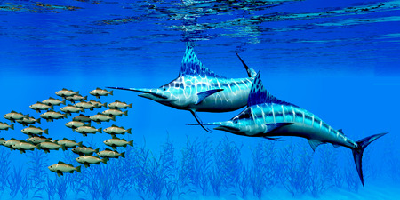 Marlin and Bocaccio Rockfish - Predatory Blue Marlin fish hunt a school of Bocaccio Rockfish over a kelp bed on the ocean floor. Stock Photo