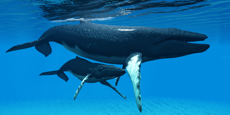 Mother and Baby Humpback Whales - A Humpback whale calf hides under his mothers belly for protection in a large ocean environment.