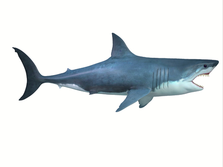 The Great White shark is a large carnivore found in all ocean environments and can live to 70 years old. Banco de Imagens - 105257227