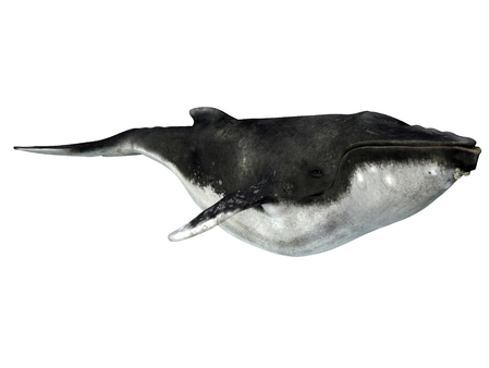 Humpback Whale with Barnacles - The Humpback is a baleen whale and many organisms hitch a ride on it such as these chin barnacles.