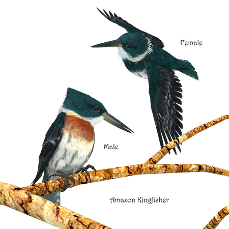 Amazon Kingfisher - Amazon Kingfishers usually perch on a branch near a river and then plunge head first into the water to hunt small prey.