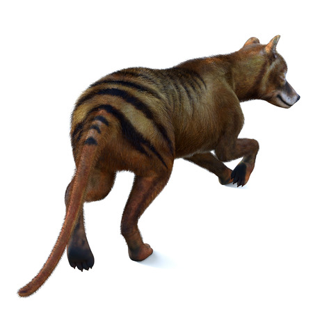 Thylacine Marsupial Tail - The Thylacine marsupial was an extinct predator from the Holocene Period of Australia, Tasmania, and New Guinea. Imagens