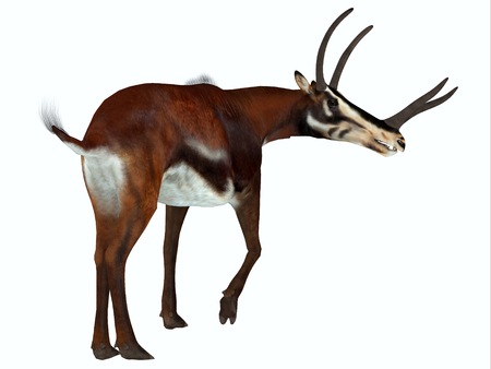 Kyptoceras Mammal Tail - Kyptoceras was an antelope mammal that lived on the plains of North America during the Miocene Period.