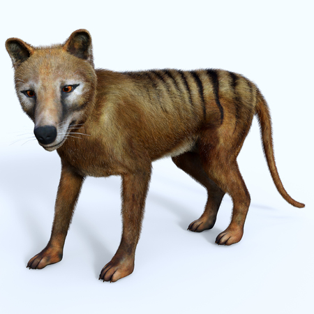 Thylacine Marsupial Side Profile - The Thylacine marsupial was an extinct predator from the Holocene Period of Australia, Tasmania, and New Guinea.