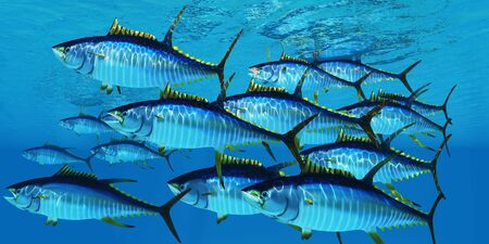 School of Yellowfin Tuna - Yellowfin tuna fish swim in large groups looking for their prey such as large schools of ocean herring fish.