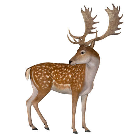 Fallow Deer Buck - The Fallow deer can be traced back to Pleistocene Period and the species now lives in Europe. Imagens