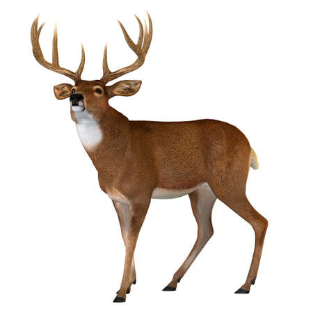 Whitetail Buck Walking - The Whitetail deer is a herbivorous ruminant mammal that lives in North and South America in herds. Banque d'images