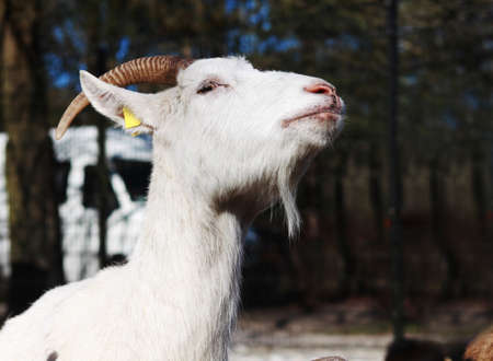 honored: white honored goat Stock Photo