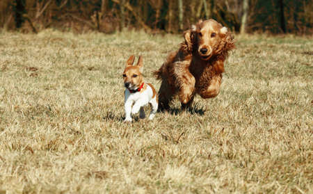 puppy of jack russel terrier and cocker spaniel running in the park photo