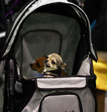 toy terrier: toy terrier di miniatura dei trasporti