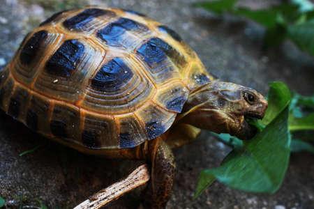 Central Asian tortoise eats leaf of dandelion
