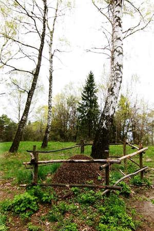 betula pendula: formicaio vicino la betulla nella foresta Archivio Fotografico