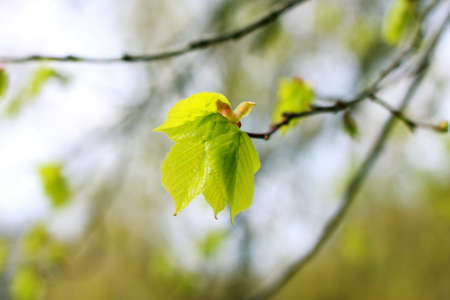 tilia: young leaves of Tilia sp. tree close up Stock Photo