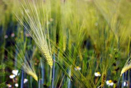 filed: wheat ear close up in the field