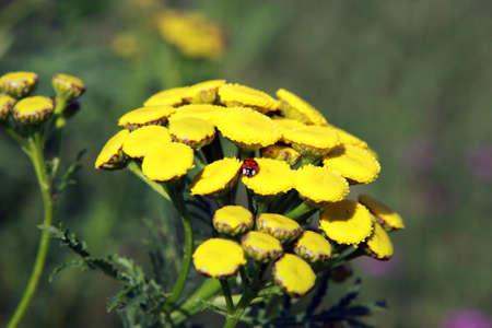 Tanacetum vulgare flowers and small ladybug photo