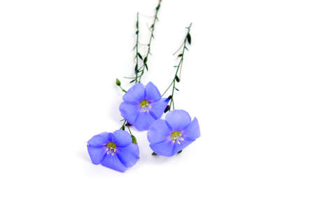 linum:  Linum usitatissimum  beautiful blue flowers  on white Stock Photo