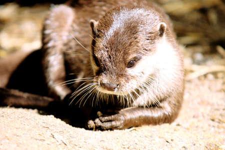 ouside: portrait of European Otter - freshwater otter