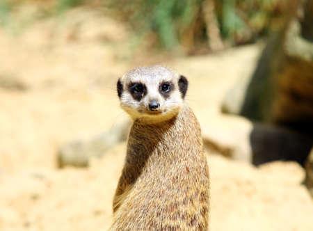 cute meerkat portrait close up photo