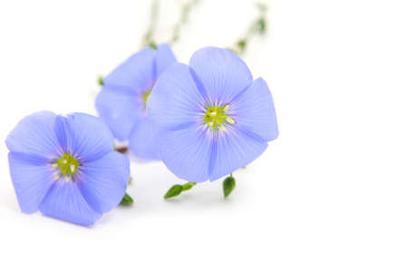 flowers of Linum (flax) on white background Stock Photo