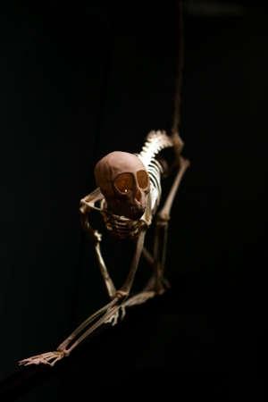 skeleton of monkey over black photo