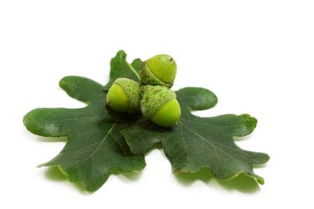 three acorns and oak leaves over white