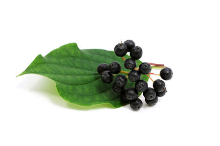 elder tree: Sambucus nigra - black elder berries on white