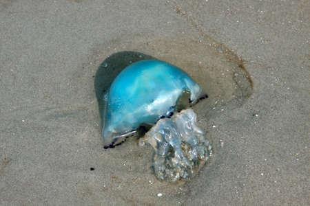 ebb: niebieskie meduzy pozostawione na piasku podczas odpływu