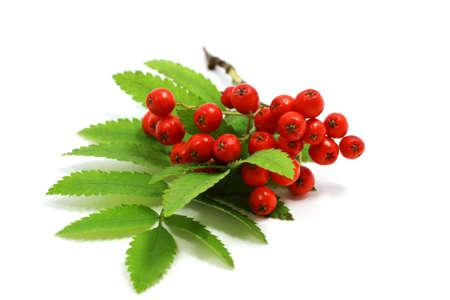 fresh rowan berries on white background
