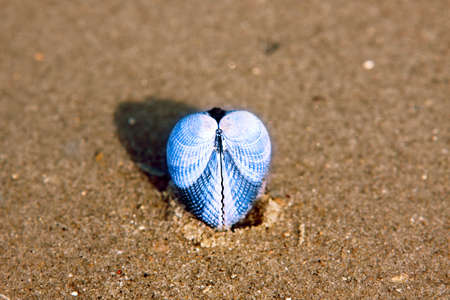 sea shell in the shape of blue heart Stock Photo - 10935928