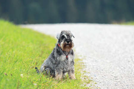 lonely schnauzer sits by the road photo