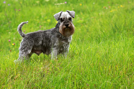 cute schnauzer standing in the grass photo