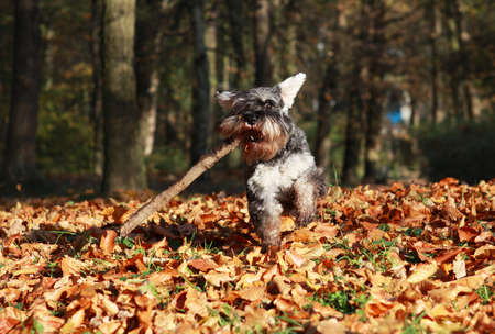 dog running with steak in the autumn park Stock Photo