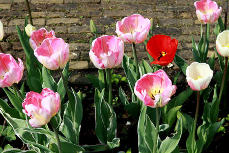 few pink and one red tulips in the garden