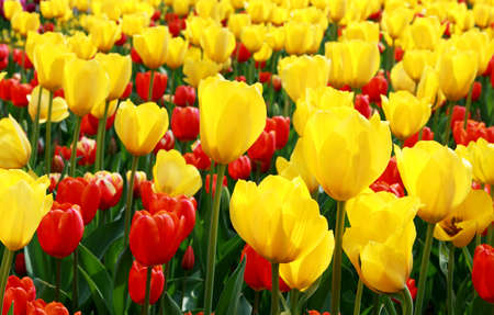 many red and yellow tulips in the garden photo