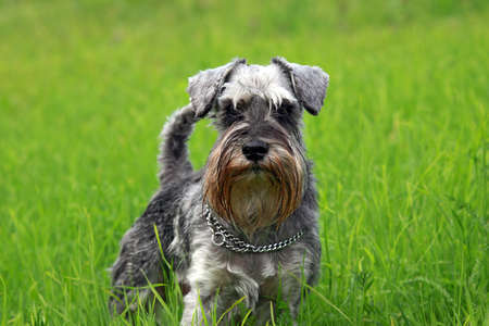young mini schnauzer stands in the grass photo