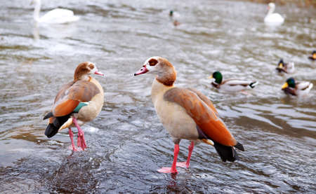 alopochen: a couple of Alopochen aegyptiacus - egyptian geese close to water Stock Photo