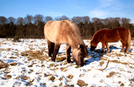 two pony on the winter pasture during mice sunny day photo