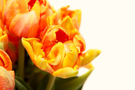 few red anf yellow tulips over white background