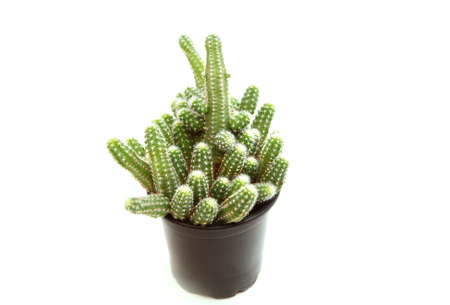 branched: beautiful branched cactus in the pot on white Stock Photo