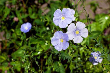 common flax: common flax - Linum usitatissimum flowers outdoors