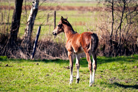 brown foal on a sunny pasture  photo