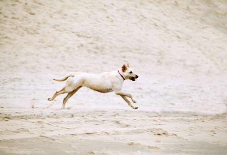 labrador retriver dog running with steak on sandy beach photo