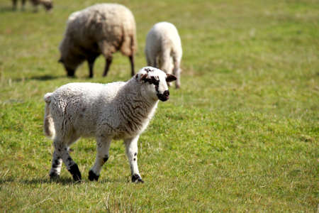 cute black and white lamb walking on the pasture Stock Photo - 13215022