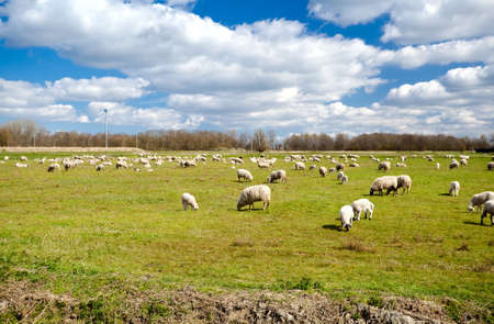 Dutch pasture with many white sheeps under blue sky with clouds photo