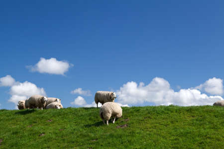 few white puffy sheep over blue sky with white clouds