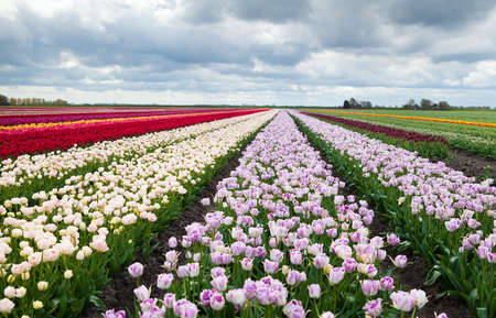 big stripes of Dutch colorful fields with many tulips photo