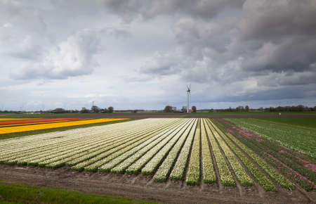 colorful tulip fields over clouded sky and row of windmills photo