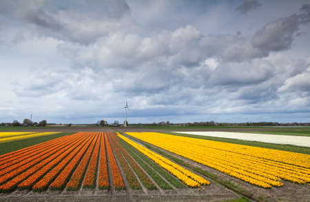 big fields with prange and yellow tulips, nice clouded sky and windmill photo