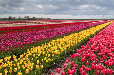 huge colorful field with rows of many tulips in Netherlands photo