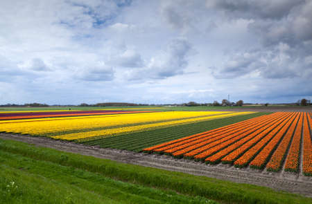 rows of orange and yellow tulip fields in Schagen, Netherlands photo
